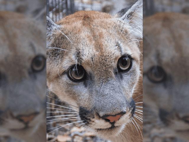 Beloved LA-Area Mountain Lion Presumed Dead From Woolsey Fire