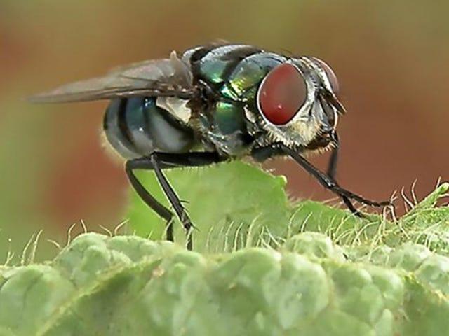 Ang mga Houseflies ay Mas Maaaring Magkalat sa Sakit Kaysa Natanto natin