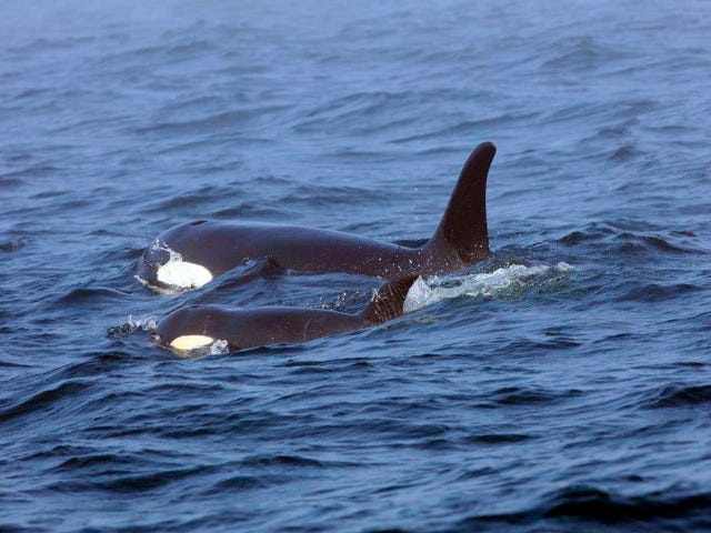 Sending Love to the Orca Mom Who Carried Her Dead Calf for 17 Days & Finally Let Her Go