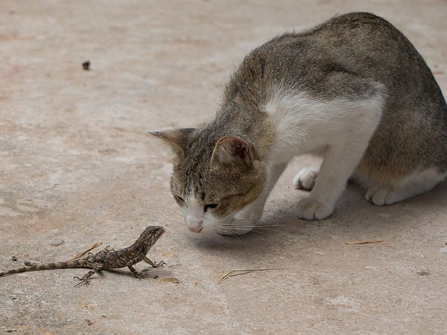 Feral Cats Are Slaughtering Australia's Reptiles