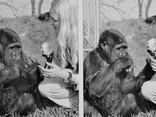 R.I.P. Koko the Gorilla