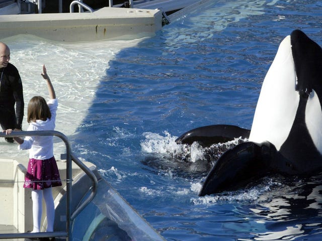 Chronic Stress Makes Captive Orcas Sick and More Likely to Die Young
