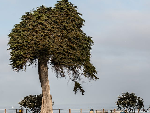 Tree Believed to Have Inspired Dr. Seuss's The Lorax Has Died