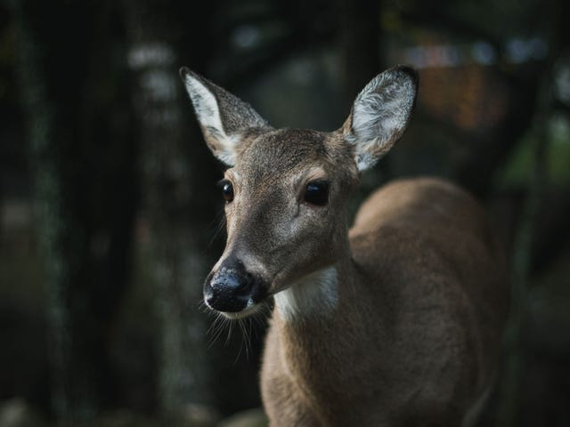 How Much Should You Worry About 'Zombie' Deer?