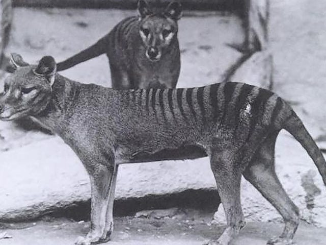 Climate Change Likely Killed Off Tasmanian Tigers