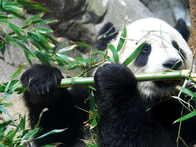 How Do Red And Giant Pandas Coexist? The Secret Is In Their Skulls.
