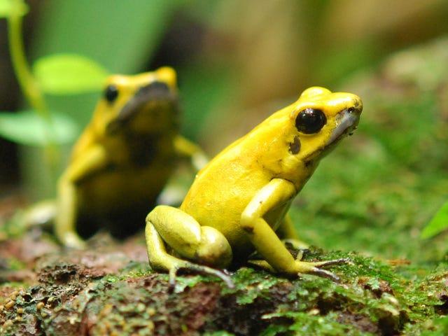Cómo las ranas más mortíferas de la tierra evitan envenenarse