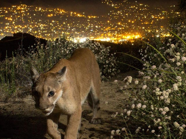 LA's Mountain Lions May Face Extinction—But There's a Way to Save Them