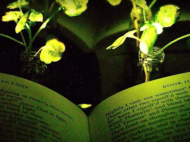 Regar las bombillas en lugar de cambiarlas:científicosdel MIT logran que una plantadomésticaemita luz