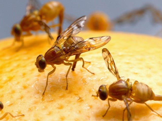 ハエによって人間に広がる「ラストリゾート」抗生物質に対する耐性