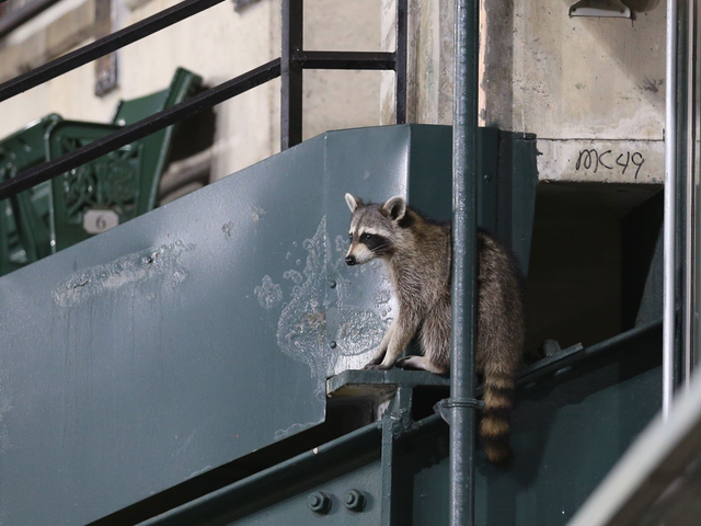 Was This Raccoon Witch Cursing The Baltimore Orioles? An Investigation