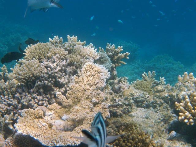 Det er ikke nok babykoraler som repopulerer Great Barrier Reef