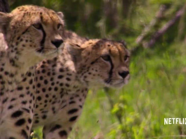 Mira a los cinco guepardos derribar un ñu en un clip exclusivo de Our Planet