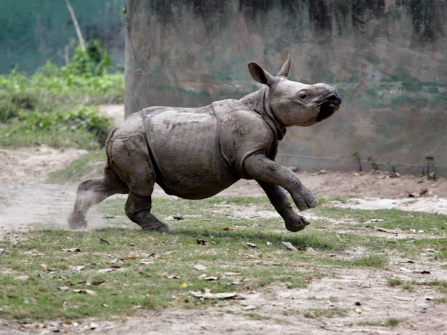 After A Rough Start, Baby Rhino Is Now Winning At Life