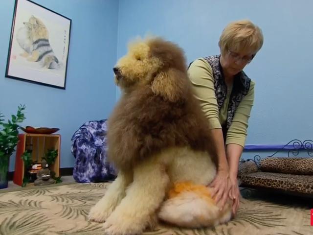 Mari Ingat Poodle Show Groom Extreme di TLC Itu Tidak Pernah