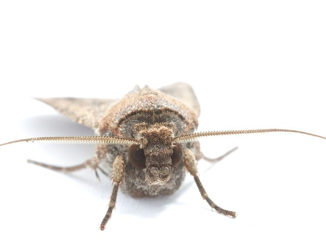 Bogong Moths Are First Insect Known to Use Earth's Magnetism to Navigate at Night
