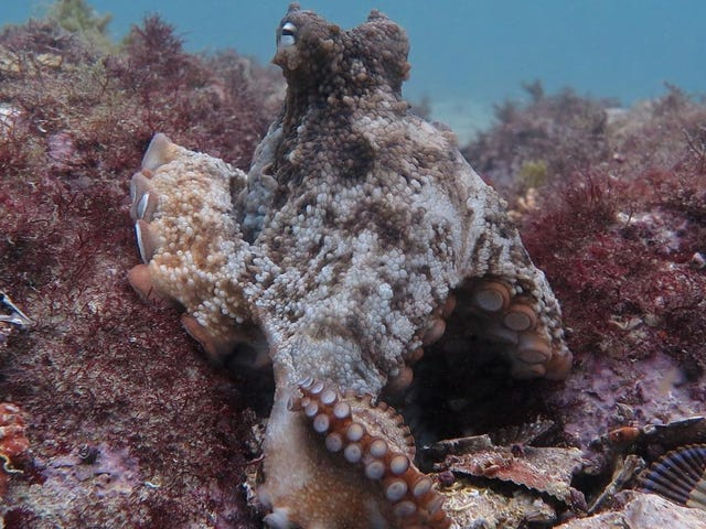 Researchers Discover 'Atlantis' For Octopuses Off Australian Coast