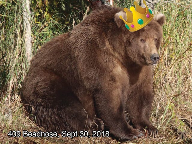 Beadnose, the Fattest Bear of 2018, Is the Hero America Needs Right Now