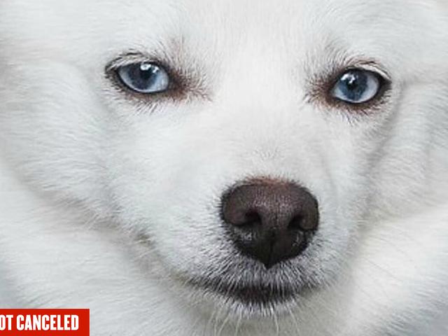 हाँ, मैं Ivanka Trump का कुत्ता रद्द कर रहा हूँ