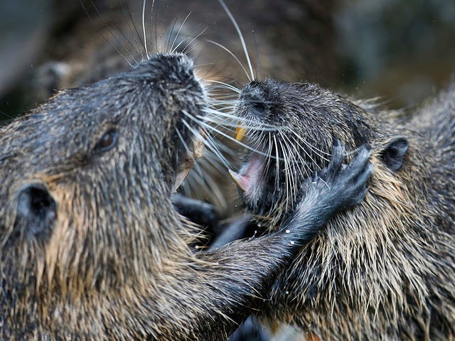 Is the Nutria, an Invasive Rodent Plaguing Wetlands, Cute or Not?