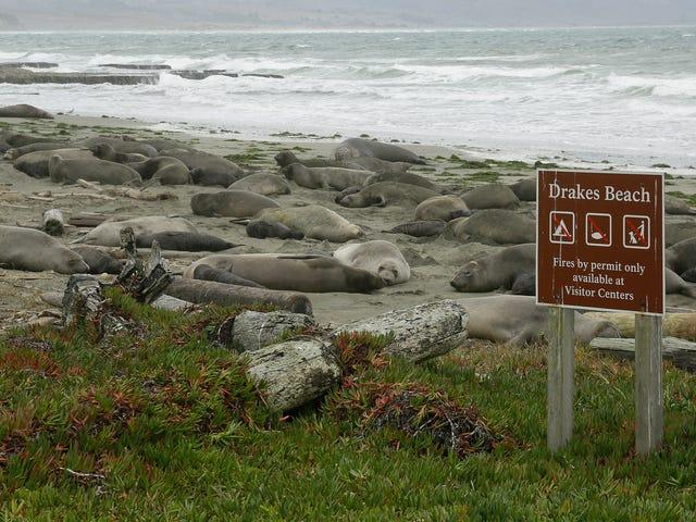 Saturday Night Social: Elephant Seals sono i legittimi proprietari di questa spiaggia della California