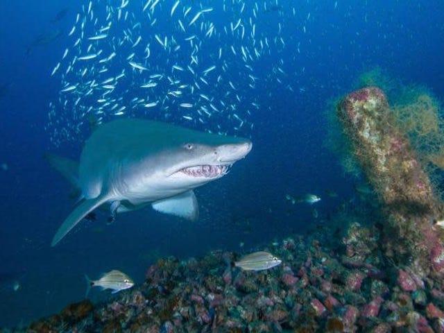 Το νεκροταφείο του ναυαγίου του Ατλαντικού μπορεί να είναι βασικός ενδιαιτητής για τους έμπειρους καρχαρίες