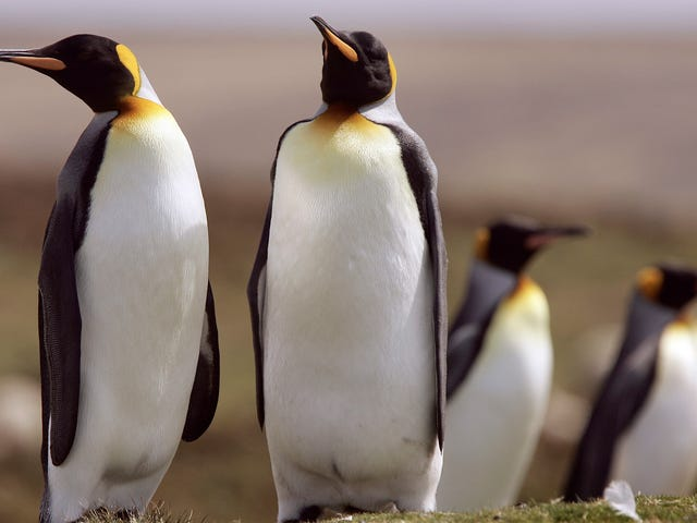 The World's Largest King Penguin Colony Is Catastrophically Shrinking—and We Don't Know Why
