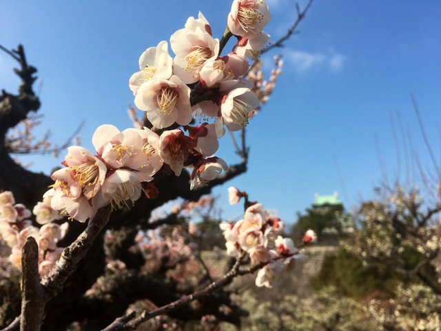 Plum blossoms in front of Osaka Castle
