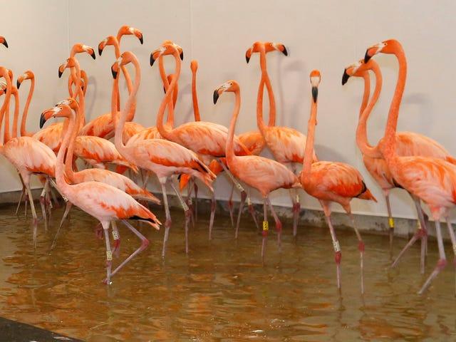 How Manatees, Gators, and Flamingos Are Surviving Hurricane Irma