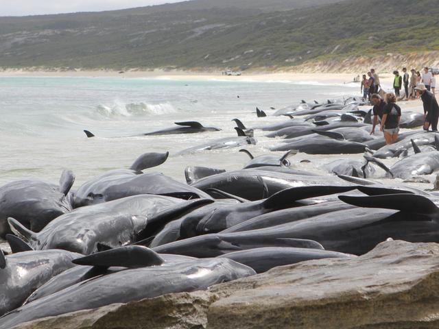 Mer enn 140 hvaler er døde etter masse stranding i Australia