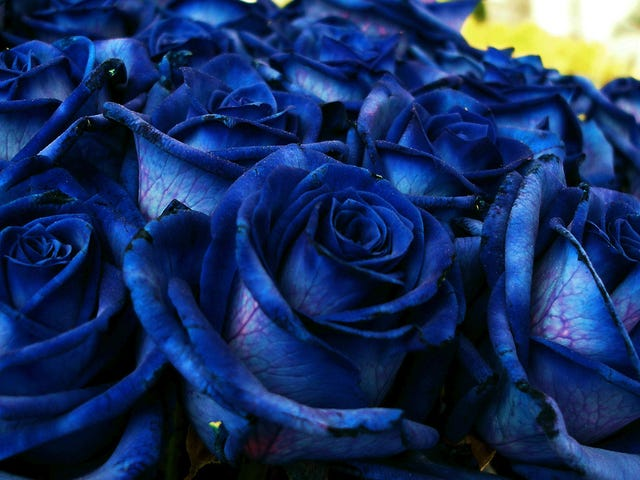 Por qué las rosas azules que compras en realidad no son Naturales (y nunca podrán serlo)