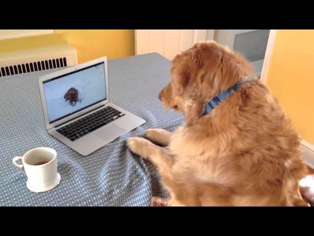 गोल्डन रिट्रीवर, गोल्डन रिट्रीवर के वीडियो द्वारा सच में चकित है