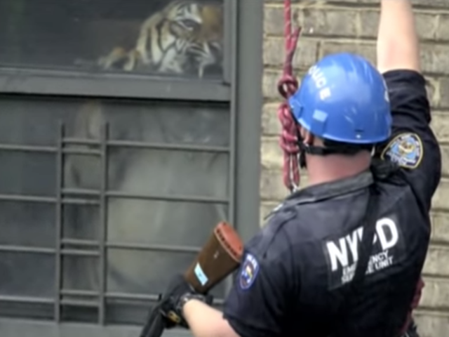 Ming, the Tiger Who Once Lived in a New York Apartment, Is Dead at 19