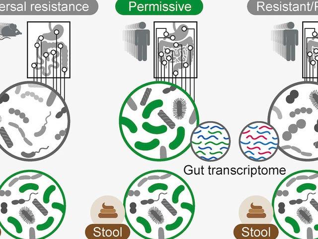 Para sa ilang mga tao, ang pagkuha ng Probiotics ay maaaring aktwal na makapinsala sa normal na bakterya ng gat