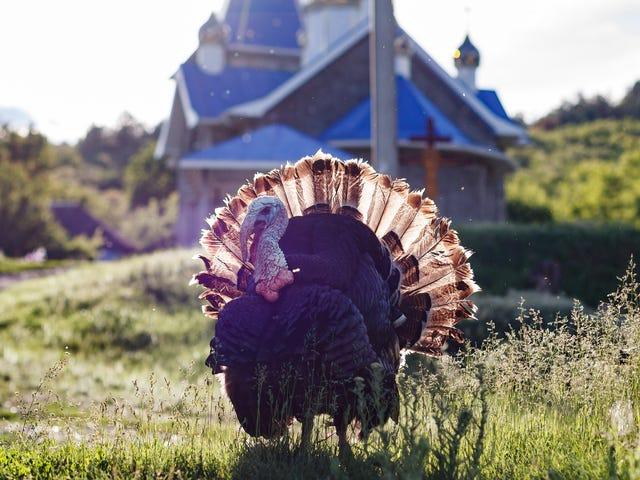 'No-Hormone' Turkeys Are a Lie