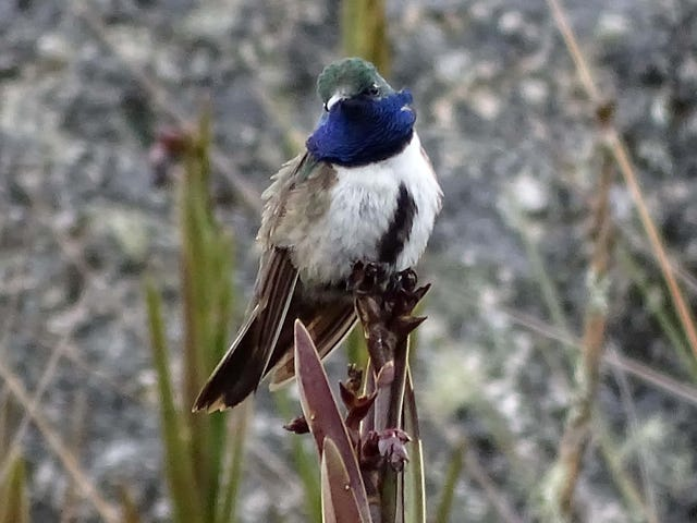 Beautiful New Andean Hummingbird Is Already Critically Endangered