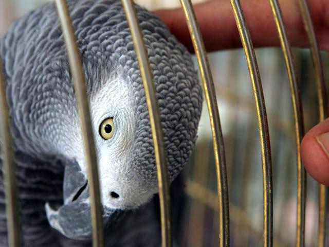 Moordenaar Fingered door Parrot