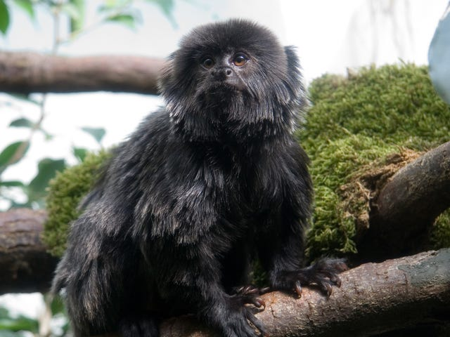 This Tiny, Beautiful Monkey Has Been Stolen and Needs Her Medicine [Update: She's Back]