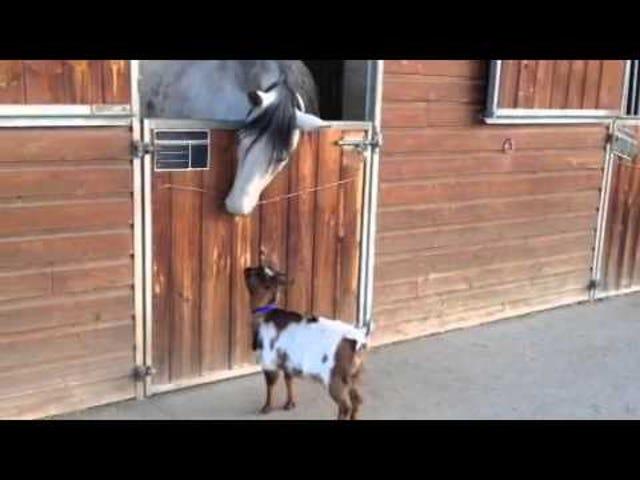Cabra, tentando, headbutt, cavalo