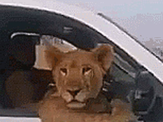 Is That A Lion Riding In The Cab Of A Chevy Silverado?