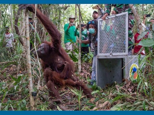 Bertemu dengan para saintis yang cuba menyelamatkan orangutan yang terancam di Indonesia