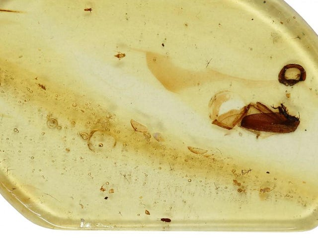 Meet Jason, the Tiny Beetle Stuck in Amber for 99 Million Years