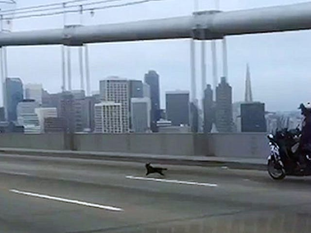 All My Love to This Bold Chihuahua, in Custody Following a High-Speed Police Chase