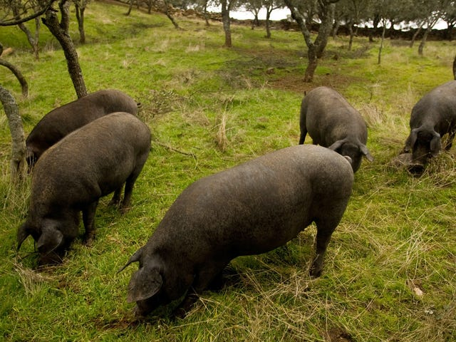 Wow, Spain Sure Has a Lot of Pigs