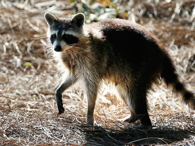 Raccoons đang tiếp quản Công viên Trung tâm, Cảm ơn Chúa