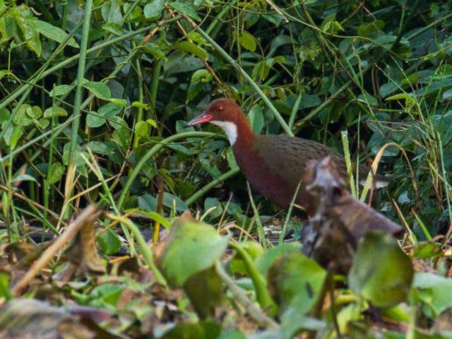 Esta ave se extinguió hace 136.000 años, y evolusion la la trajo de vuelta