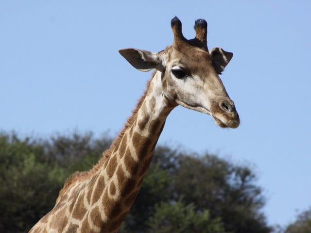 Giraffer kunne ha utviklet sine lange nakker for en overraskende grunn