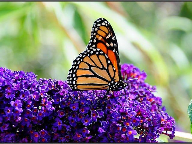 Всі способи метеликів Використовуйте колір, щоб залишитися живим