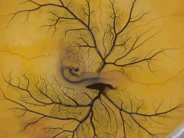 Injecting an Egg Yolk with Ink Reveals the Embryo Hidden Inside