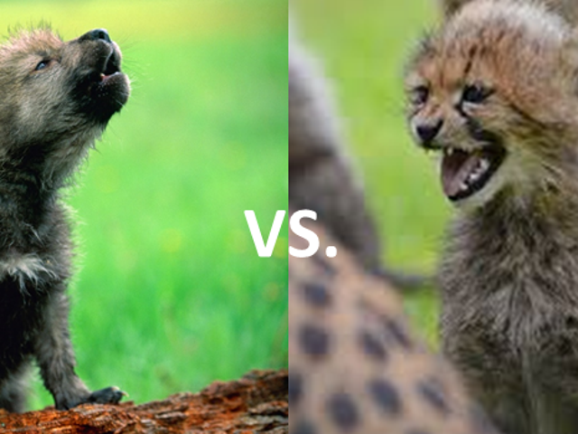 O-Deck January Madness: Felids vs. Canids!